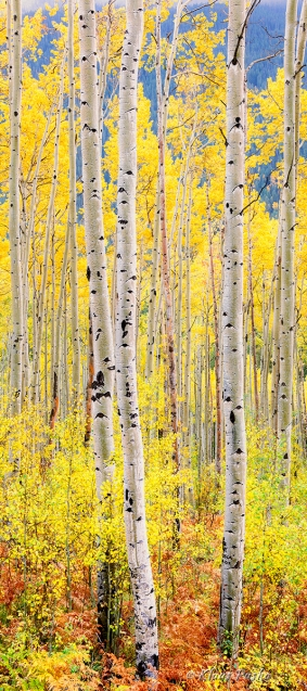 Ascendant Aspens - White River National Forest, Colorado
