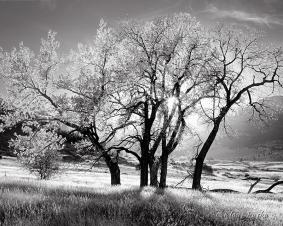 Radiant Cottonwood - Foothills, Colorado