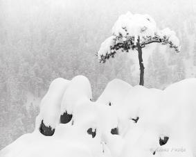 Umbrella Tree - Front Range, Colorado