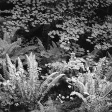 Ferns and Maples - Olympic National Park, Washington