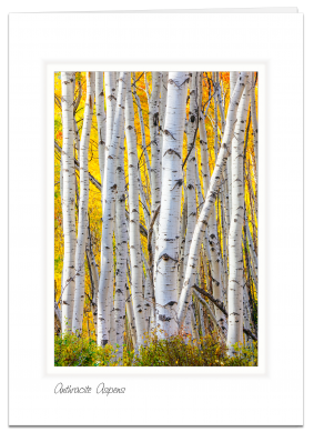 Anthracite Aspens - Gunnison National Forest, Colorado