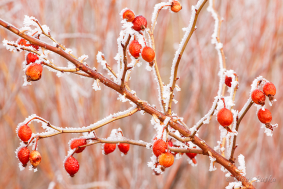 Frosted Rose Hips - Colorado