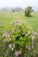 Lilacs In Mist - Chautauqua, Colorado