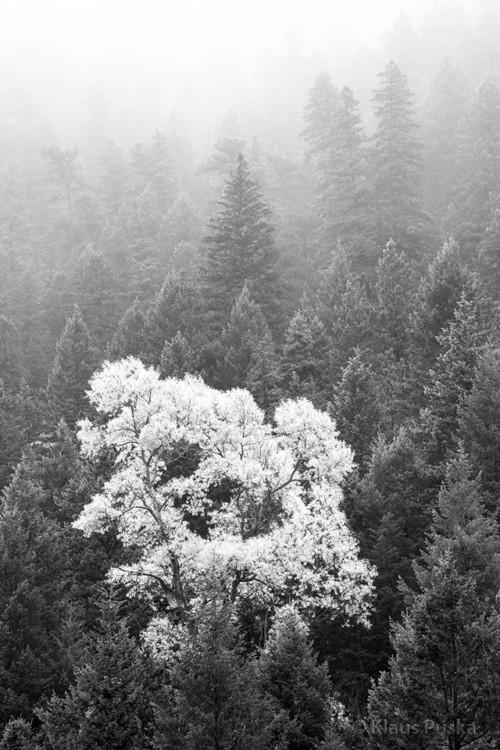 Cottonwood Mist - Boulder Canyon, Colorado