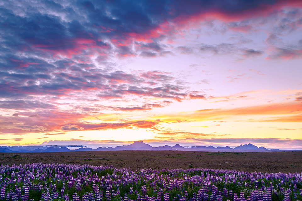 Lupine At Midnight - Iceland